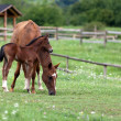 Foal and mare — Stock Photo #9967470