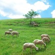 Sheep — Stockfoto