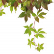 Stock Photo: Parthenocissus