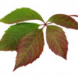 Stock Photo: Autumn leaf (Parthenocissus)