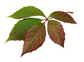 Autumn leaf (Parthenocissus) — Stock Photo