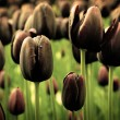 Unique black tulip flowers in green grass — Stock Photo