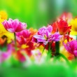 Colorful flowers in spring garden — ストック写真