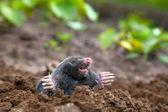 Mole in ground — Stock Photo