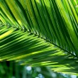 Tropical palm leaf - 图库照片