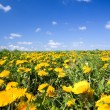 Field full of dandelions in spring — Stock Photo