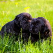 Two dogs, puppies on the grass - Stock Photo