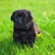 Dog, puppy on the grass - Stock Photo