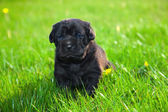 Dog, puppy on the grass — Stock Photo