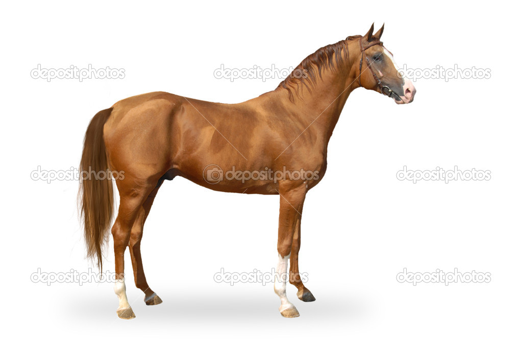 Red warmbllood horse isolated on white. Collage. Illustration — Stock Photo #10017414
