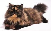Persian tortie cat on the white background — Stock Photo