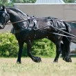 Stock Photo: Black friesian horse carriage driving