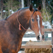 Bay horse on winter's paddock — Stock Photo