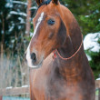 Bay horse on winter's paddock - Stock Photo