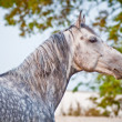 Evening portrait gray horse on ranch paddo — Stock Photo #9398372