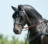 Portrait black friesian horse carriage driving — Stock Photo