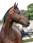 Porträtt bay häst i hagen — Stockfoto