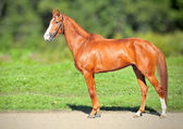 Red Racing mare — Stock Photo