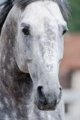 The powerful stare of a dapple-grey trotter stallion. Close-up — Stock Photo