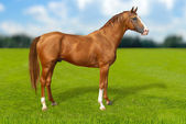 Red warmbllood horse on green grass — Foto de Stock