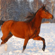 Royalty-Free Stock Photo: Proud red arabian horse on a snow-covered field in sunset light