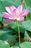 Lotus flower living fossil (close up) — Stock Photo