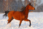Proud red arabian horse on a snow-covered field in sunset light — Stock Photo