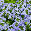 Photo: Spring flowers background