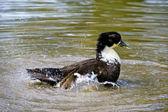 Mallard, Wild Duck, Anas platyrhynchos swimming in the water — Stock Photo