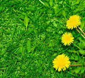 Top view of green grass and dandelion flowers background — Stock Photo