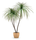 Dracaena plant in pot isolated on white background — Стоковое фото