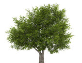 Crack willow tree isolated on white background — Stock Photo