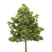 Drzewo klon pole na białym tle — Zdjęcie stockowe