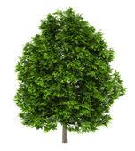 European ash tree isolated on white background — 图库照片