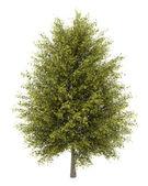 Ginkgo tree isolated on white background — Stock Photo
