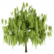 Willow tree isolated on white background — Stock Photo