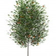 Stock Photo: Europerowtree isolated on white background