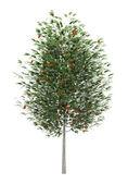 European rowan tree isolated on white background — Stock Photo