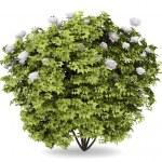 Peony bush isolated on white background — Stock Photo #9376539