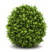 Dwarf english boxwood isolated on white background — Stock Photo
