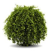 Common hornbeam bush isolated on white background — Stock Photo