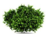 Bigleaf hydrangea bush isolated on white background — Stock Photo