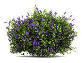 Lilac flowers bush isolated on white background — Stock Photo