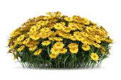 Yellow sneezeweed flowers isolated on white background — Stock Photo