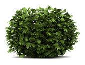 Japanese aralia bush isolated on white background — Stock Photo