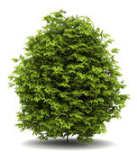 Euonymus verrucosa bush isolated on white background — Stock Photo