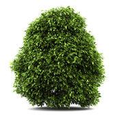 Common holly bush isolated on white background — Stock Photo