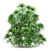 Japanese andromeda bush isolated on white background — Stock Photo