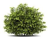 Common hazel bush isolated on white background — Stock Photo
