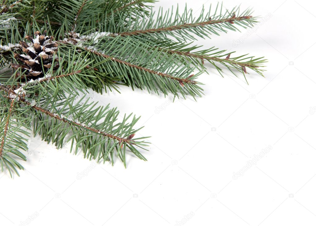 Branch of Christmas tree with pine cone  Stock Photo #8135482